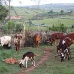 Quelques vaches en pâture